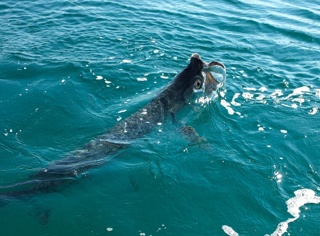 A Tarpon being caught in Sarasota Florida during a charter